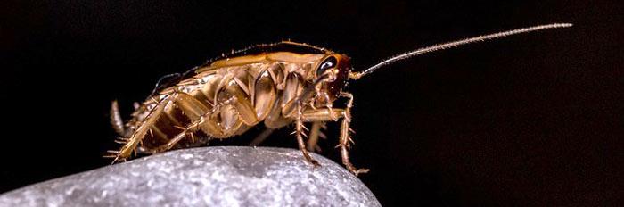 Ψιλή κατσαρίδα - Γερμανική - Αντιμετώπιση
