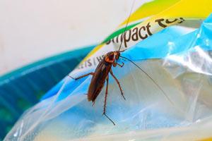 Από που μπαίνουν κατσαρίδες στο σπίτι - Κατσαρίδα σε σακούλα.