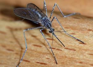 ΚΟΥΝΟΥΠΙΑ: Συχνές ερωτήσεις - Πληροφορίες. Κοινό κουνούπι. (Culex)
