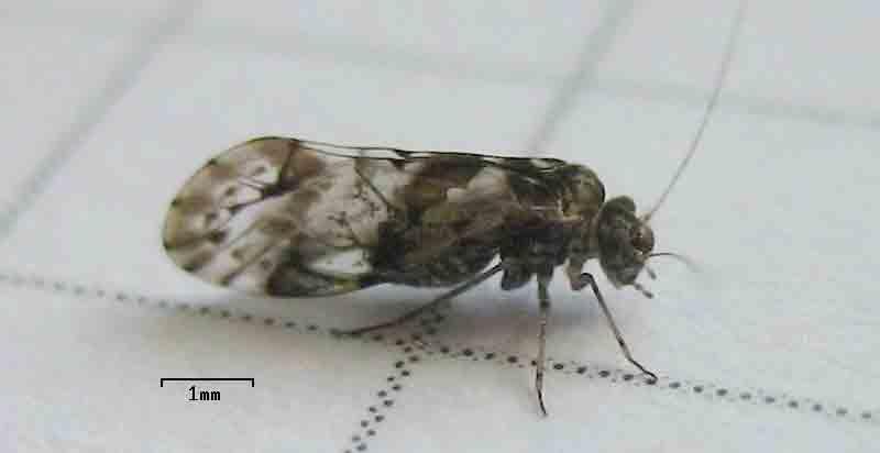 Έντομα. Empusa pennata, ένα είδος Μαντώδους εντόμου (προσευχής). Mantodea.
